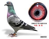 詹森子代鸽-669918(已售)
