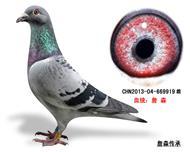 詹森子代鸽-669919(已售)