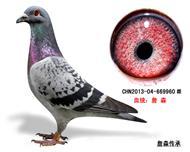詹森子代鸽-669960(已售)