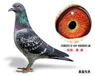 詹森子代鸽-669905