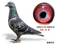 詹森子代鸽-669922(已售)