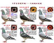 卡萨原舍冠军鸽――天地鸽业收藏
