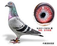 宝马优德种鸽1736720