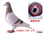 三好鸽业-超级种雌0644