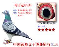 鸽王冠军484