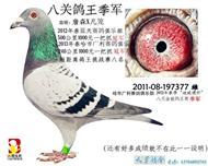 八关鸽王-季军