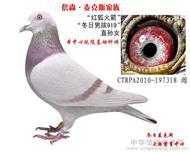 红狐詹森318/冬日男孩直孙女