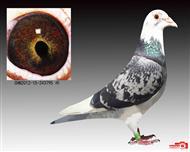 杨阿腾黄金种鸽飞过4次五百公里
