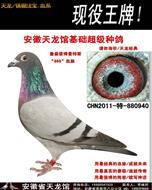 安徽天龙馆基础超级种鸽