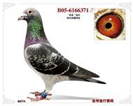 胡本原棚种鸽