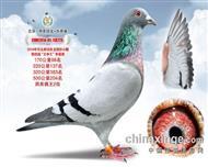 鸽王亚军(已售)