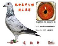 2012年春季北京凯世嘉华公棚鸽王亚军。