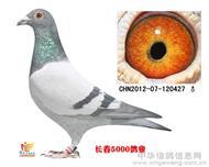 鸽王冠军(新阿斯克)