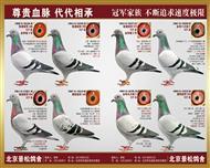 种鸽团队每羽均为冠军