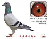 天威1号种鸽
