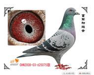 桑杰士系种鸽