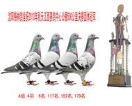江西赛鸽公棚团体冠军