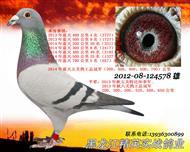 五关鸽王总冠军(已售)