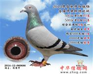 双关鸽王亚军686(已售)