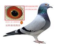 14年北京正明公棚三关鸽王亚军之父