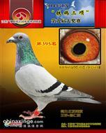 铁鸽528