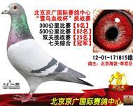 七关鸽王冠军