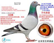 三冠雌17862羽幼鸽冠军
