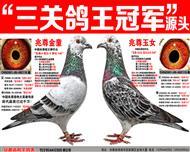"""苍白骑士王牌""""梦幻145""""三关鸽王冠军"""