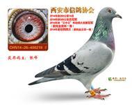 """2014年西安市信鸽协会""""王中王""""总冠军"""