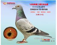 郑 州 信 力 赛 鸽334