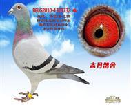 BELG2010-4320732 雌