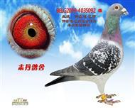 BELG2009-4035092 雄
