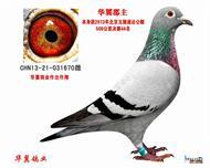 2013年北京玉翅通达公棚决赛44名