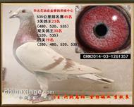 华北石油宏金赛鸽养殖中心四关鸽王19名