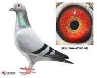 比利时KBDB国家鸽王4名平辈(已售)