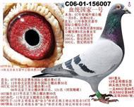 北京公棚鸽王冠军之父
