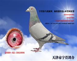 宇萱伯马龙旋风  本鸽以赠河南广阳