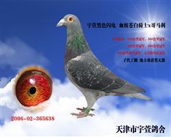 宇萱黑色闪电 本鸽已售天津北辰