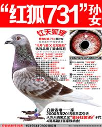 詹森红狐731孙女【红天狐狸】