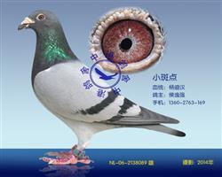 杨迪汉原舍小斑点大铭鸽(非卖品)