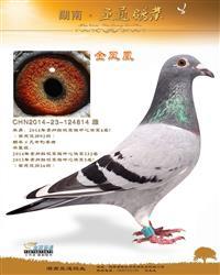 2014年贵州红枫赛鸽中心决赛4名