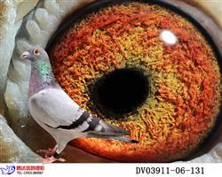 海尔曼・原环种鸽