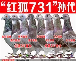 詹森红狐731直孙/女菁华