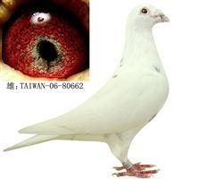 白色穆力门基础种鸽