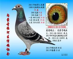 三关鸽王9
