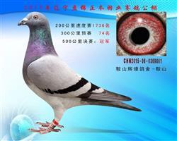 辽宁盘锦正本羽业公棚500公里决赛冠军