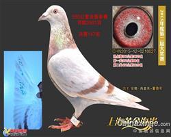 2015黄金海岸获奖鸽