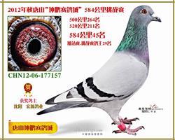 唐山坤鹏鸽王(已售出)