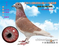 北京爱宇赛鸽