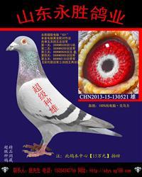 五关鸽王总冠军